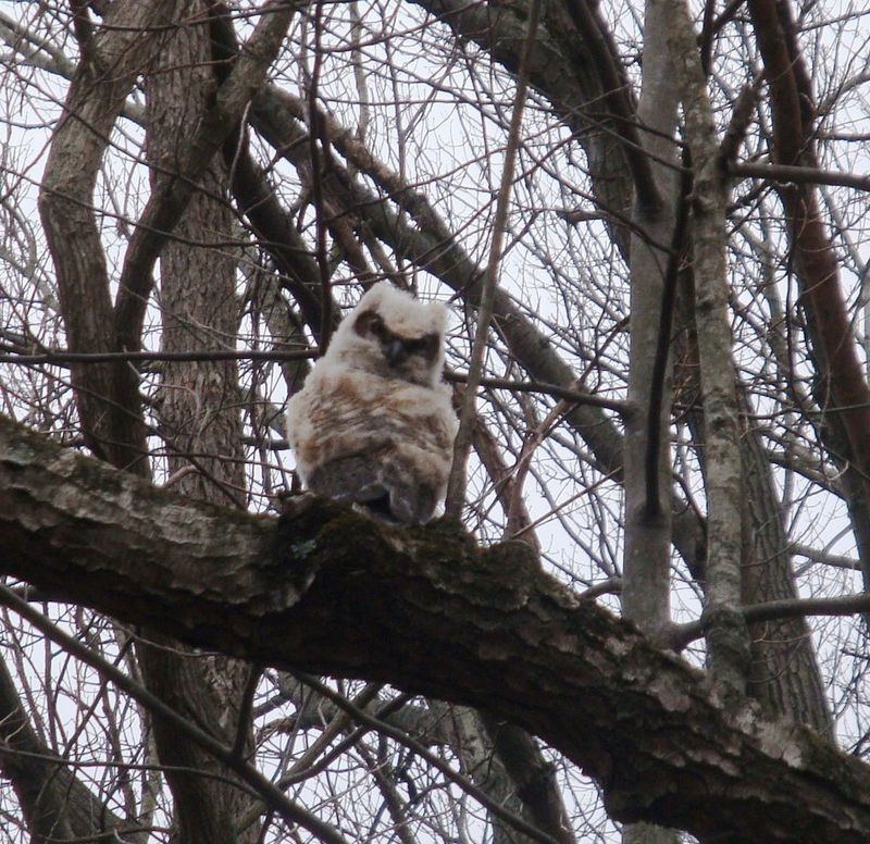 Owl fledgling March 28 2009 Fox Island