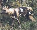 African_wild_dog